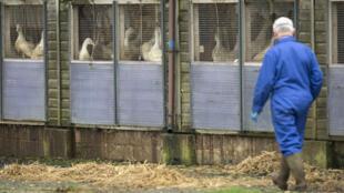 Un homme portant un masque passe devant des canards dans un élevage dans le Yorkshire, en Angleterre, le 17 novembre 2014.