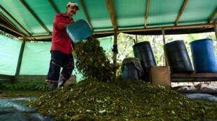 Une production clandestine de coca dans le département de Guaviare en Colombie, le 25 septembre 2017.