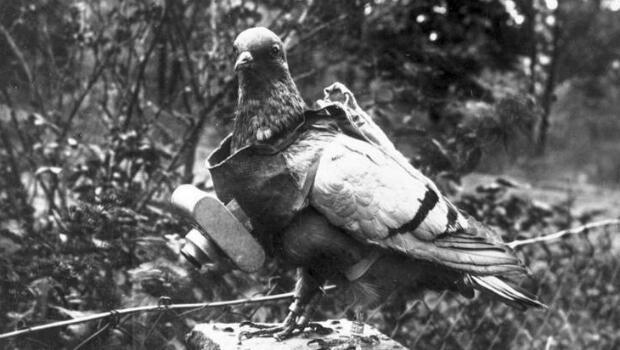 Un pigeon équipé en 1914 par l'armée allemande d'un appareil photo à obturateur programmé