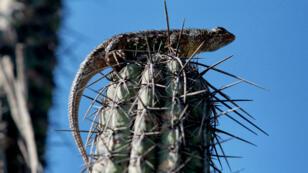 Reptil visto en la zona rica en cactus del Valle Tehuacán-Cuicatlán.  Junio 29 de 2017.