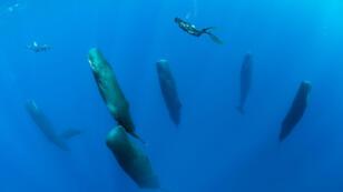 En mer des Caraïbes, un troupeau de baleines endormies.