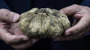 White truffles are usually only found in small areas of northern Italy or central Europe
