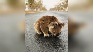 Un koala bebe agua del suelo tras las lluvias de este sábado, 18 de enero, en Nueva Gales del Sur, Australia.