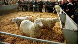 Dolly, la brebis clonée, en février 1997, à l'Institut d'Edimbourg, en Écosse.