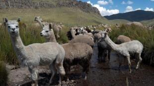 Alpacas en una granja en la región Puno, sureste de Perú