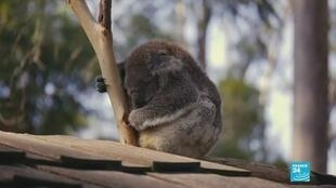 Australia's iconic koala has been heavily affected by the unprecedented bushfires raging in the country.