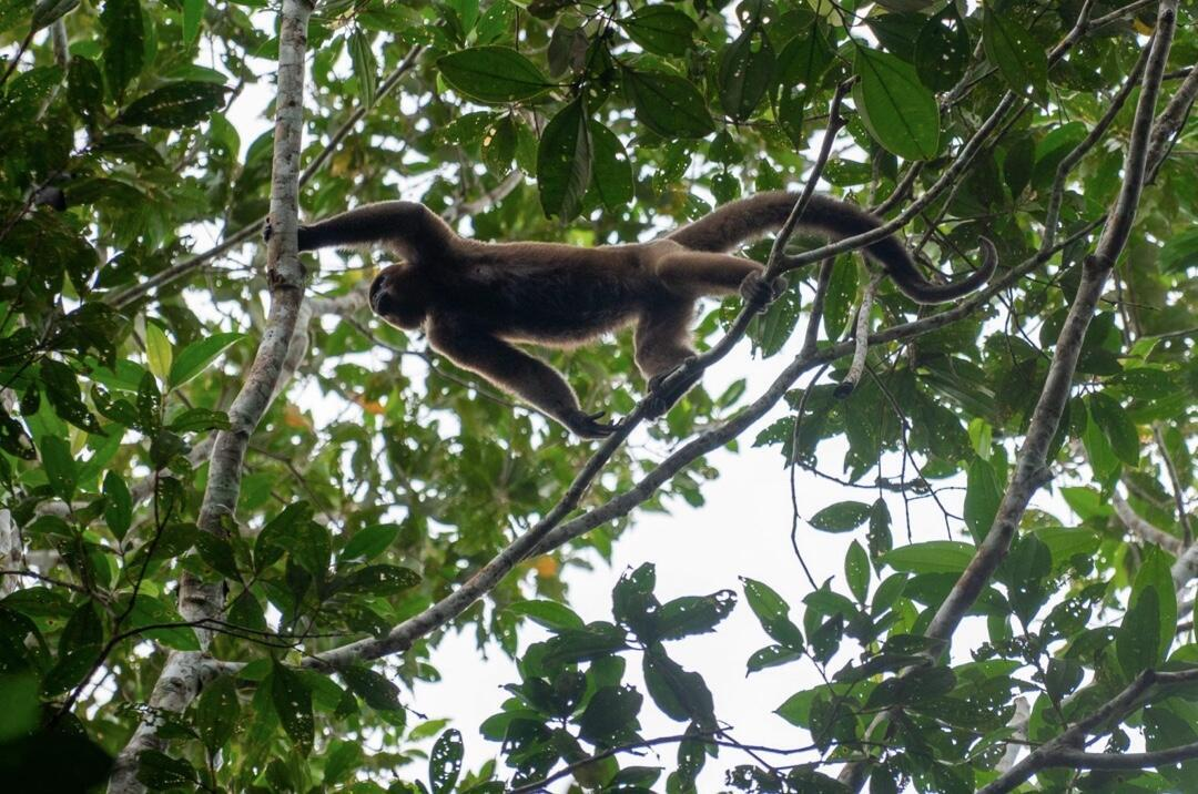 Un mono churuco (Lagothrix lagotricha), una de las muchas especies endémicas de la Amazonía, cruza por las ramas de los árboles en las selvas del Guaviare. La región alberga una gran diversidad biológica que está amenazada. Desde mediados de febrero de 2020 los guardaparques de los parques Puré, Apaporis, Chiribiquete, La Paya, Macarena, Tinigua y Picachos y las reservas naturales de Puinawai y Nukak han sido expulsados por amenazas de grupos criminales. Al menos nueve millones de hectáreas de selva en esa región están desprovistas de funcionarios y autoridad ambiental.