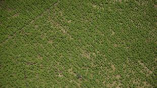 Vista aérea de plantaciones de coca en Tumaco, Departamento de Nariño, Colombia, el 26 de febrero de 2020