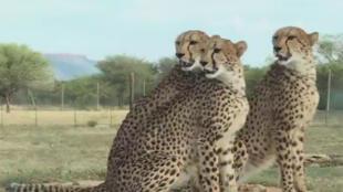 Le guépard, l'animal terrestre le plus rapide au monde, court tout droit vers son extinction.