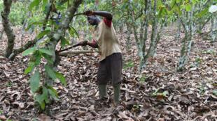 Un fermier ivoirien récolte du cacao à Lakota, dans le sud-ouest de la Côte d'ivoire, en mars 2016.