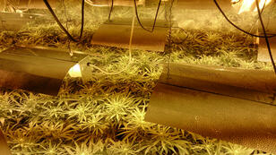 Des plants de cannabis découverts à Londres par la police en janvier 2014.