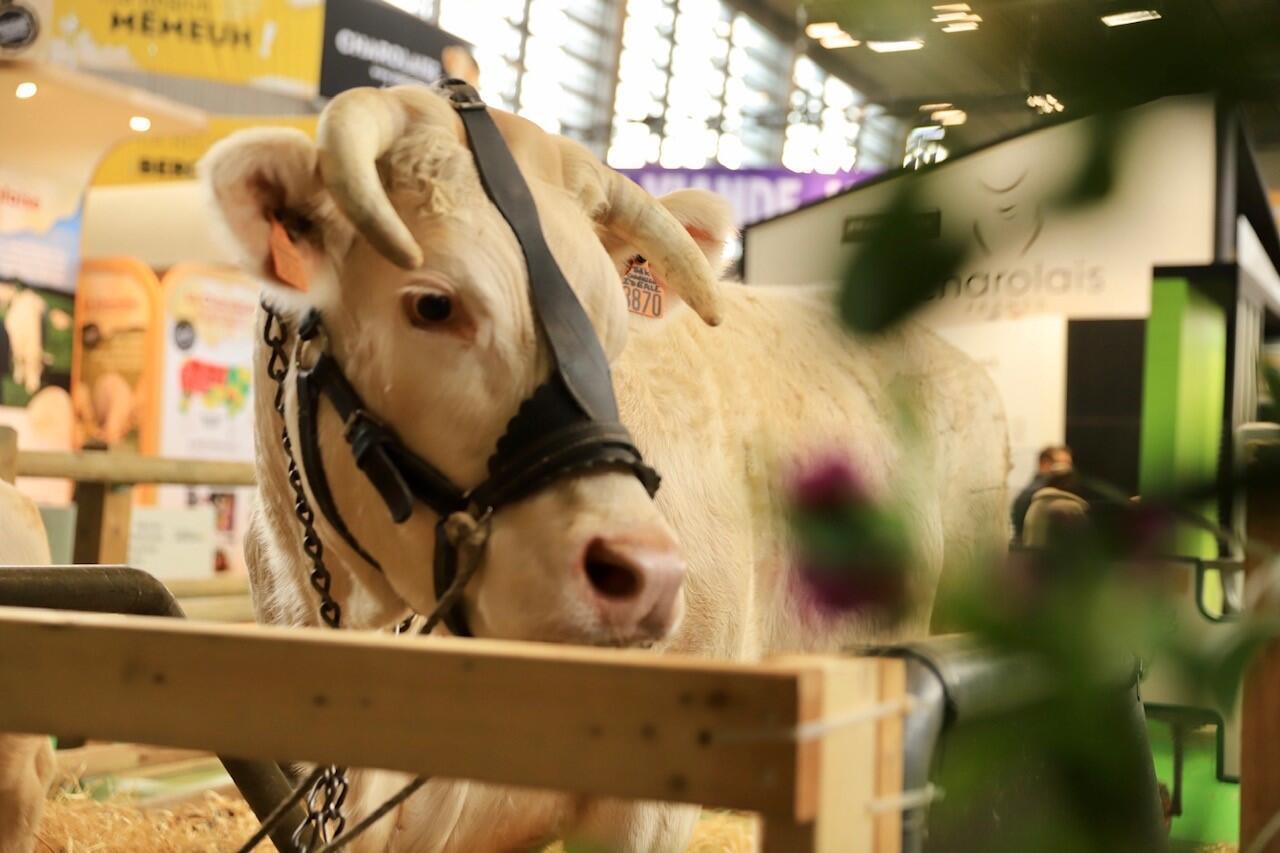 La vache charolaise baptisée Idéal est l'égérie du Salon de l'agriculture 2020 à Paris.