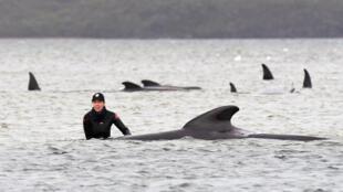 Tasmania whales