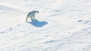 دب قطبي في القطب الشمالي