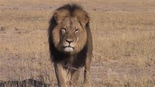 """اتهم بالمر بقتل الأسد """"سيسل"""" بعد استدراجه خارج متنزه هوانجي الوطني في زيمبابوي"""