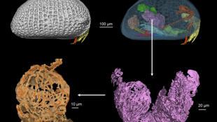 Photo fournie par l'université Louis-et-Maximilien de Munich (Allemagne), montrant des reconstitutions tomographiques d'un ostracode femelle du Crétacé. En haut à gauche: les extrémités de deux paires d'antennes dépassent de la face avant du bivalve. En haut à droite: à travers la coquille sont visibles des organes, ainsi que des oeufs (en vert) et les réceptacles à spermatozoïdes (gonades, en violet). En bas à droite: reconstitution de la paire de gonades mâles. En bas à gauche: vue d'une des gonades contenant des spermatozoïdes géants filamenteux