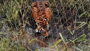 Melati was placed with the other tiger to try and breed as part of a Europe-wide programme to help boost the numbers of the endangered animal