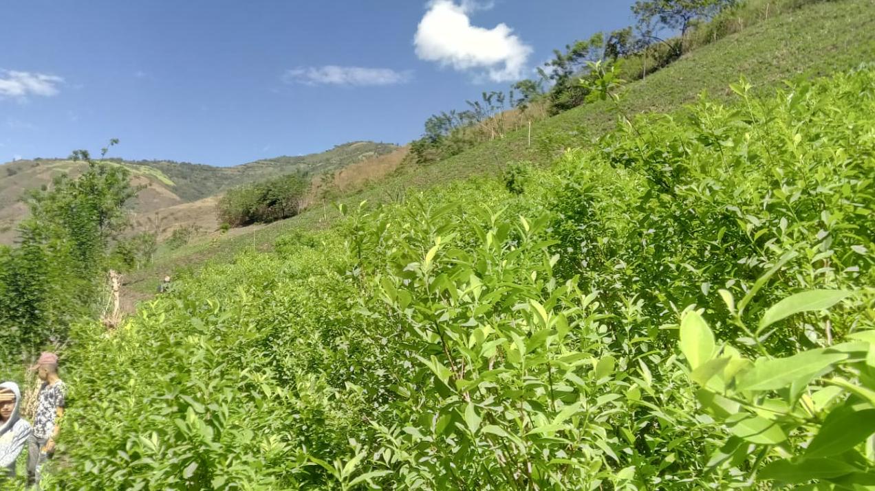 Cultivos de hoja de coca en Nariño, Pasto.