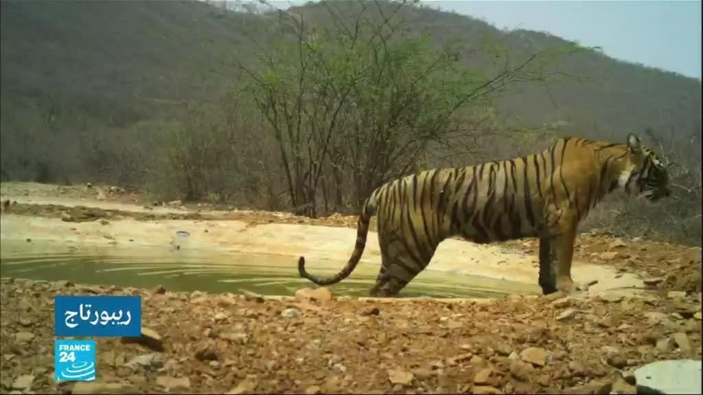 ريبورتاج نمور البنغال في الهند 14-05-2021