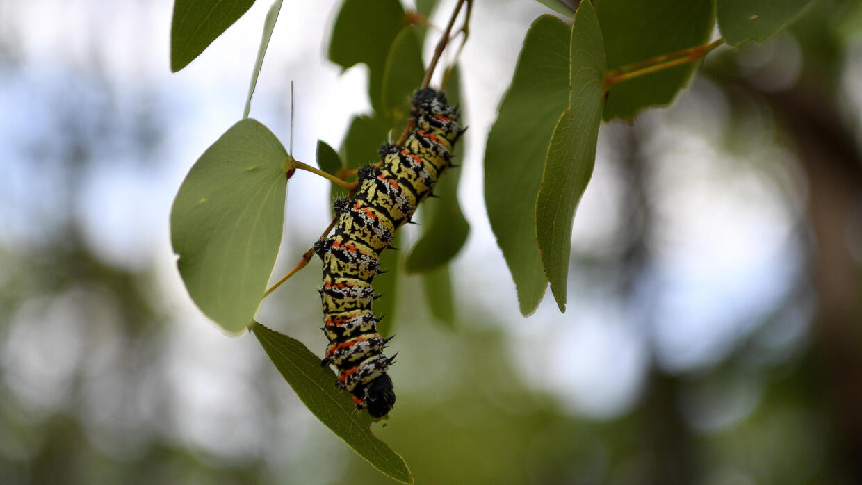 Edible caterpillars become rare in drought-hit Botswana