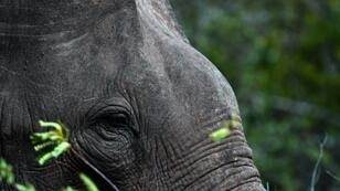 There are an estimated 7,500 elephants in the wild in Sri Lanka