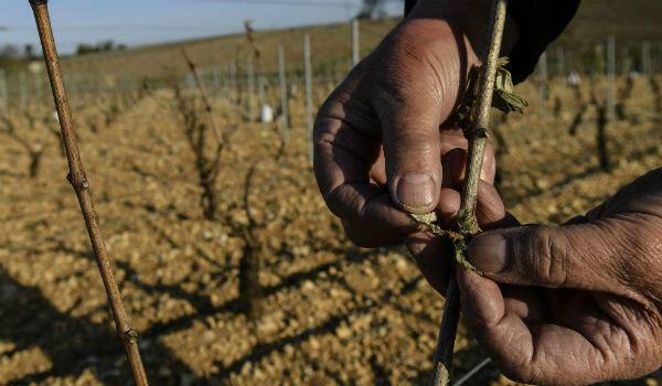 Chablis vineyard in April 2017