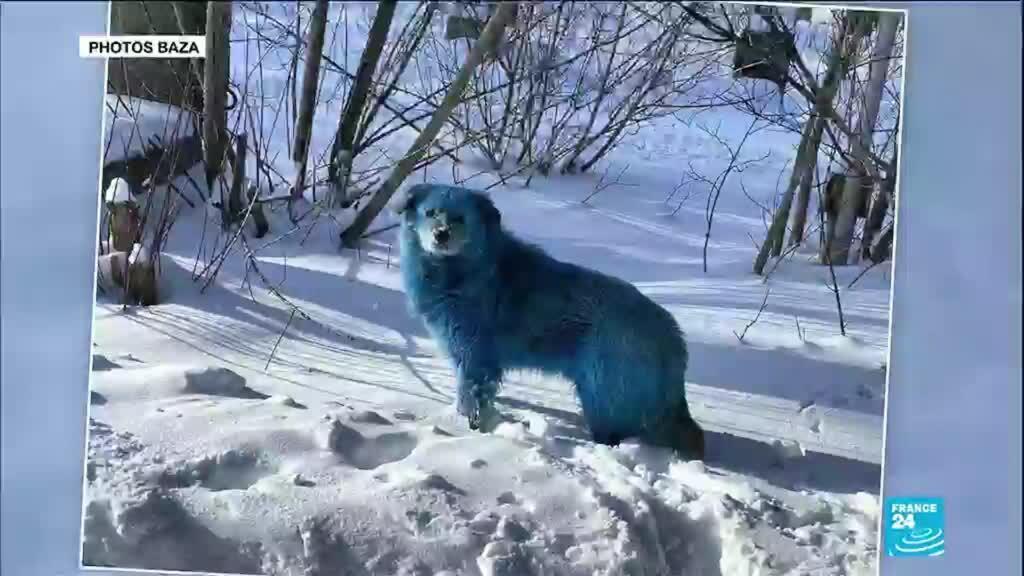 2021-02-17 16:13 Russie : le mystère des chiens bleus