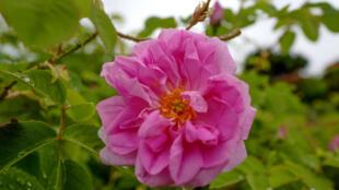 La rose Centifolia en fleurs à Grasse le 14 mai 2020 attend d'être cueillie pour la parfumerie Dior