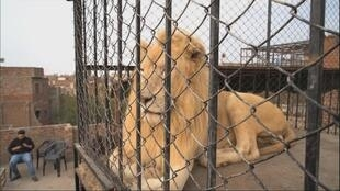 XX NW OOV FREEZE LION EN CAGE