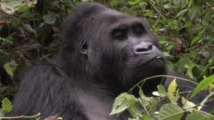 قرد غوريلا - الكونغو