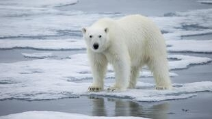 Svalbard is known for its polar bears, which a recent study predicts could all but disappear within the span of a human lifetime due to the Climate change