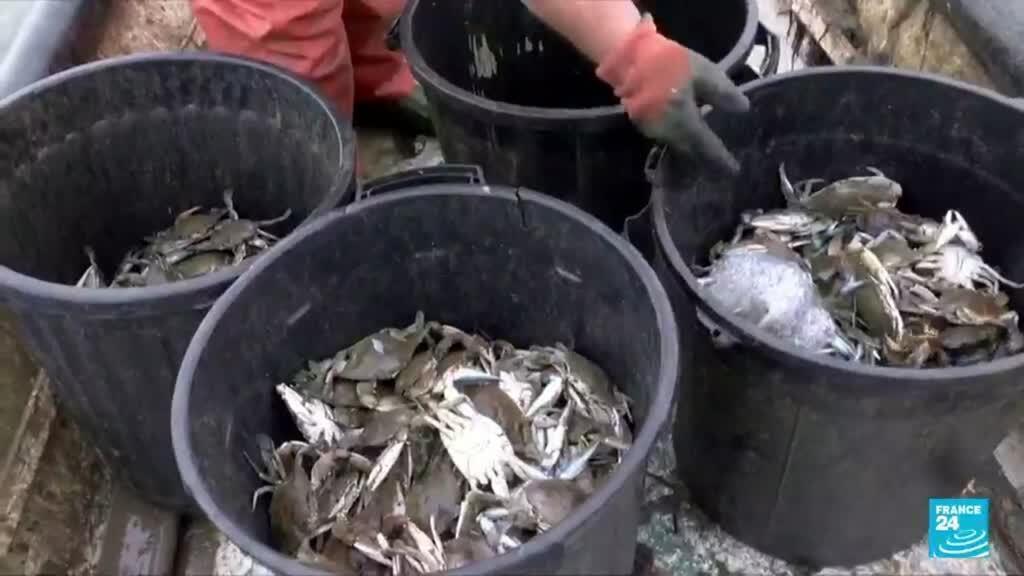 2021-09-03 09:41 On French Mediterranean, invasive blue crab wreaks havoc on local molluscs