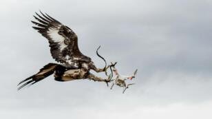 À Mont-de-Marsan, sur la base aérienne BA-118, l'armée de l'Air française dresse des aigles pour neutraliser les drones.