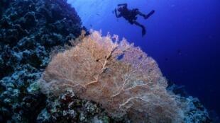 Un buceador nada cerca de un arrecife de coral en la reserva marina egipcia del Mar Rojo de Ras Mohamed, el 5 de septiembre de 2018