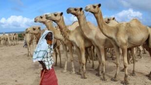 Un marchand vend des chameaux dans un marché de Mogadiscio, le 30 juillet 2020.