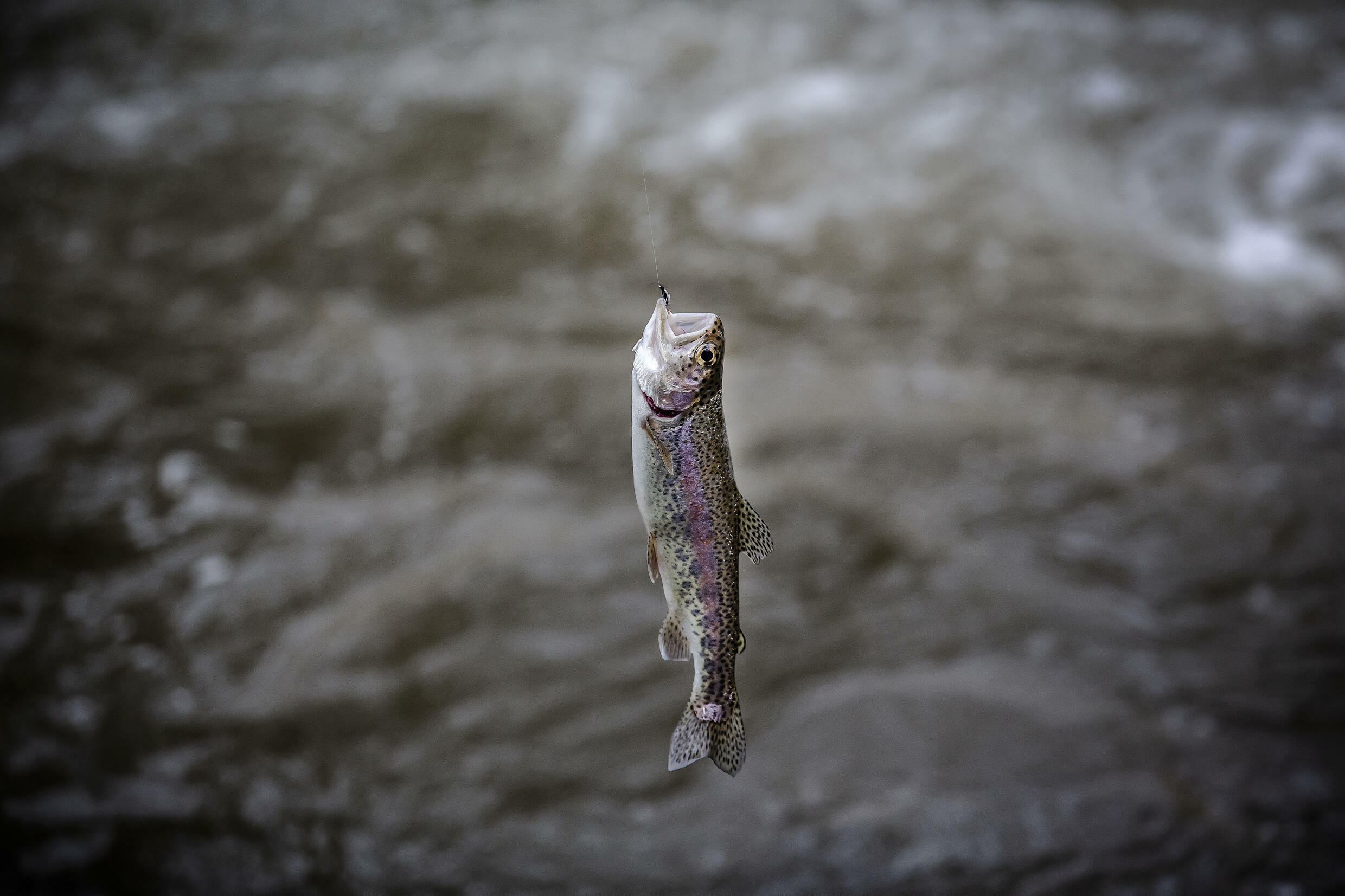 The British introduced trout to rivers in Kenya in the early 1900s.