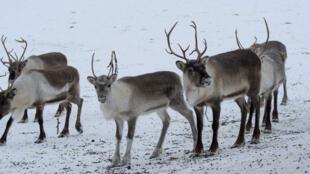 Des rennes en Norvège.