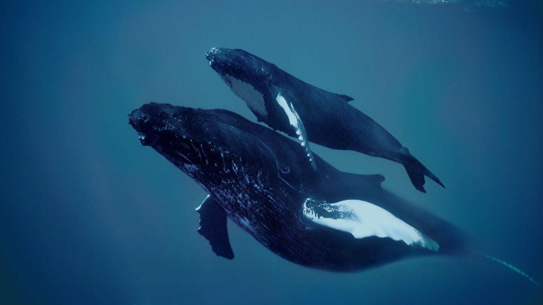 Une mère baleine à bosse et son petit, au large de Silver Banks, en République Dominicaine.