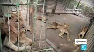 Los Observadores leones desnutridos