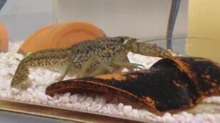 Procambarus fallax forma virginalis, alias l'écrevisse marbrée.