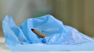 Un petit ver de cire en train de se régaler d'un sac en plastique. Nom nom nom.