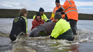 Rescuers working to save a whale beached in Macquarie Harbour on the rugged west coast of Tasmania