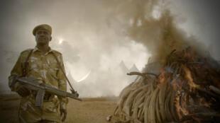"""""""The Ivory Game"""", un documentaire coproduit par Leonardo Di Caprio et diffusé sur Netflix."""