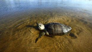 Une tortue olivâtre