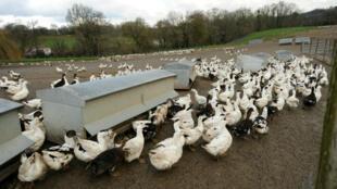 Un élevage de canards dans le sud-ouest de la France