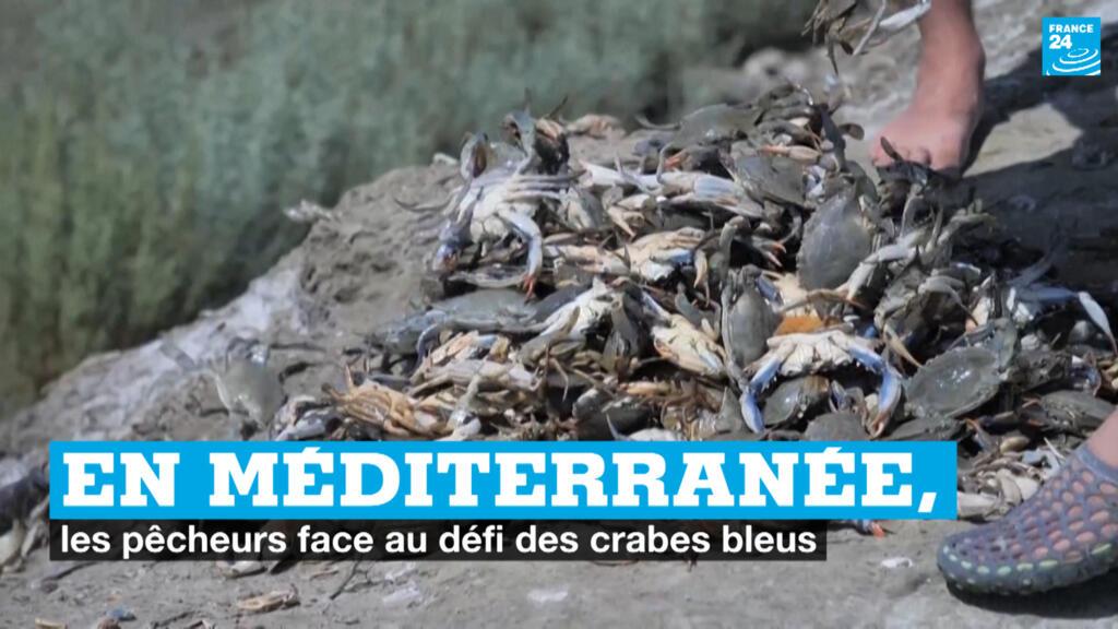 En Méditerranée, les pêcheurs face au défi des crabes bleus