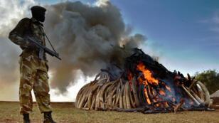 Un officier kenyan se tient près d'un tas de 15 tonnes d'ivoire d'éléphants en train de brûler, le 3 mars.