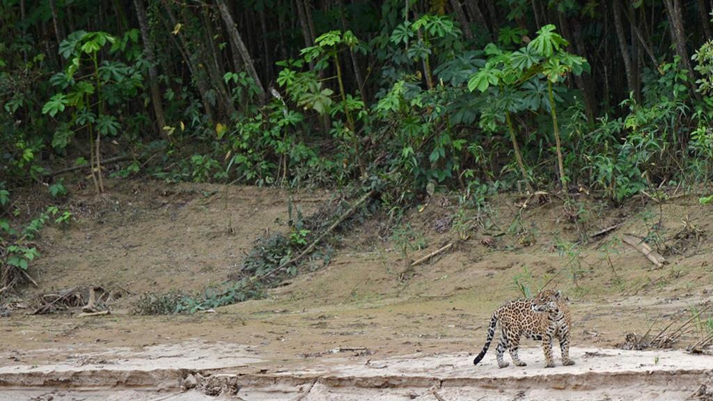 Un jaguar es visto cerca del río Los Amigos, en Madre de Dios, Perú