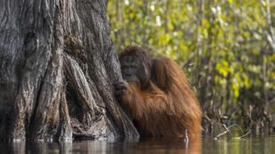 Un orangután macho en un río en Borneo, Indonesia.