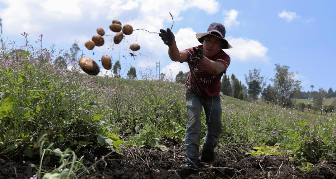 Un agricultor cosecha papa para satisfacer las necesidades alimentarias de los colombianos durante el brote de coronavirus. Genesiano, Colombia, el 27 de marzo de 2020.